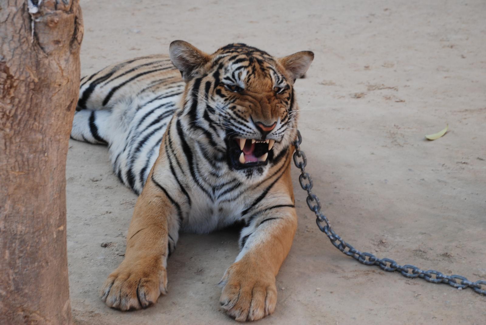 BREAKING NEWS: Thai Government Seizes All Tigers From Tiger Temple