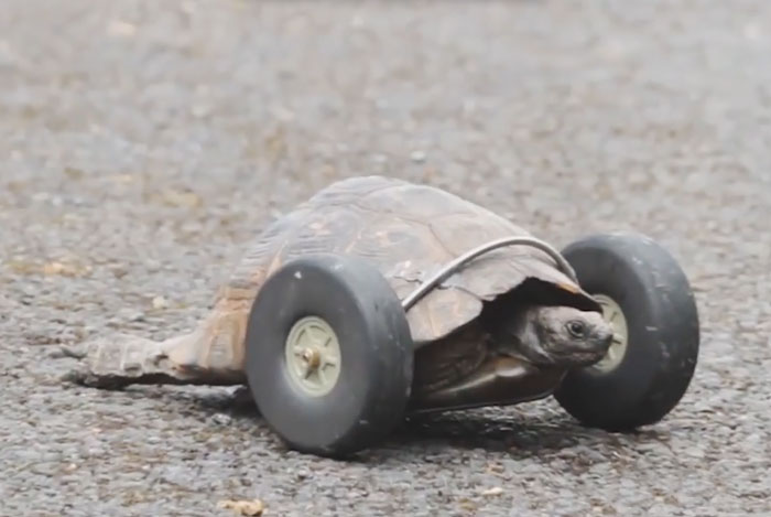 90-year-old-Tortoise-Ninja-Fast-Half-Cyborg-After-Wheels-Replace-Legs-Lost-in-Rat-Attack__700