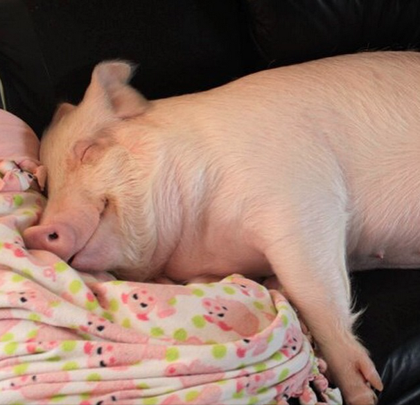 Esther the Pig sleeps on the couch at her humans' home.
