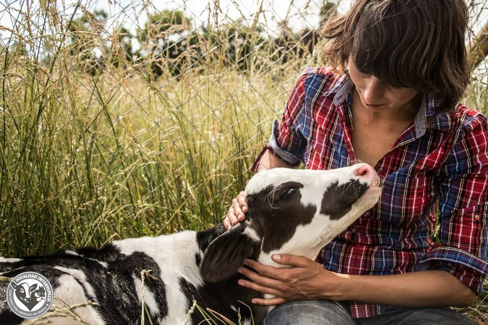 This Little Cow Was Rescued From the Veal Industry. Now He Loves to be Cuddled! (VIDEO)