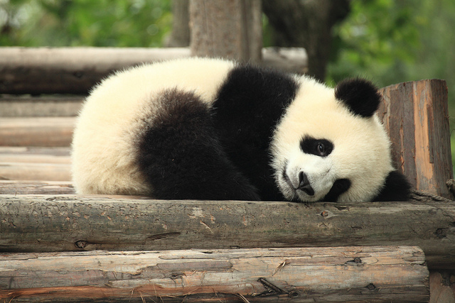 The panda, one of the more popular endangered species.  Image source: George Lu/Flickr
