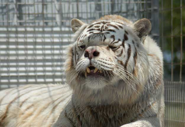 Kenny the White Tiger was inbred, resulting not only in his white coat, but in down syndrome and several other medical problems. Photo from Brittanica.com.
