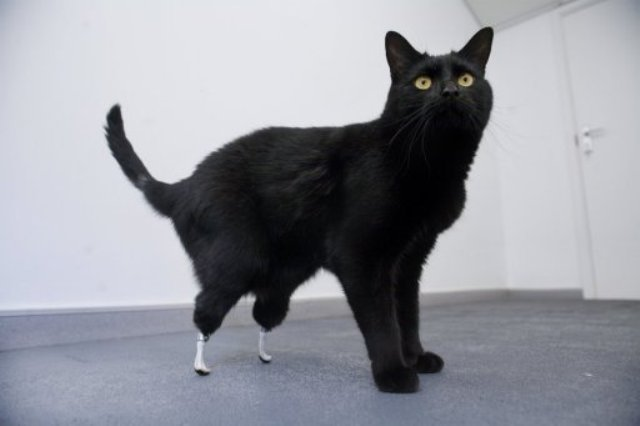 Oscar the Bionic Cat got a new lease on life when he was fitted with leg implants, making the operation the first of its kind. Picture via Creative Commons.