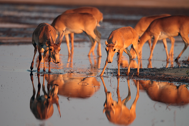 120,000 Saiga Antelope Mysteriously Died Last Month: What We're Doing to Save This Animal