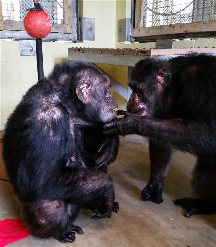 http://www.onegreenplanet.org/news/rescued-chimp-finds-love-at-new-sanctuary/