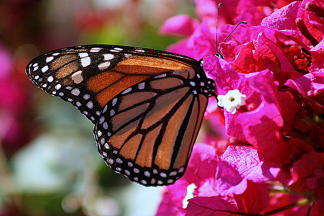 8 Ways You Can Help Save the Monarch Butterfly