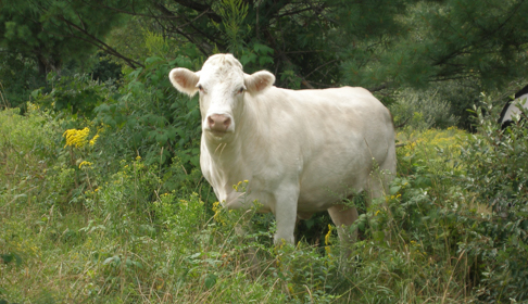 Meet Cincinnati Freedom: The Legendary Cow Who Escaped a Slaughterhouse