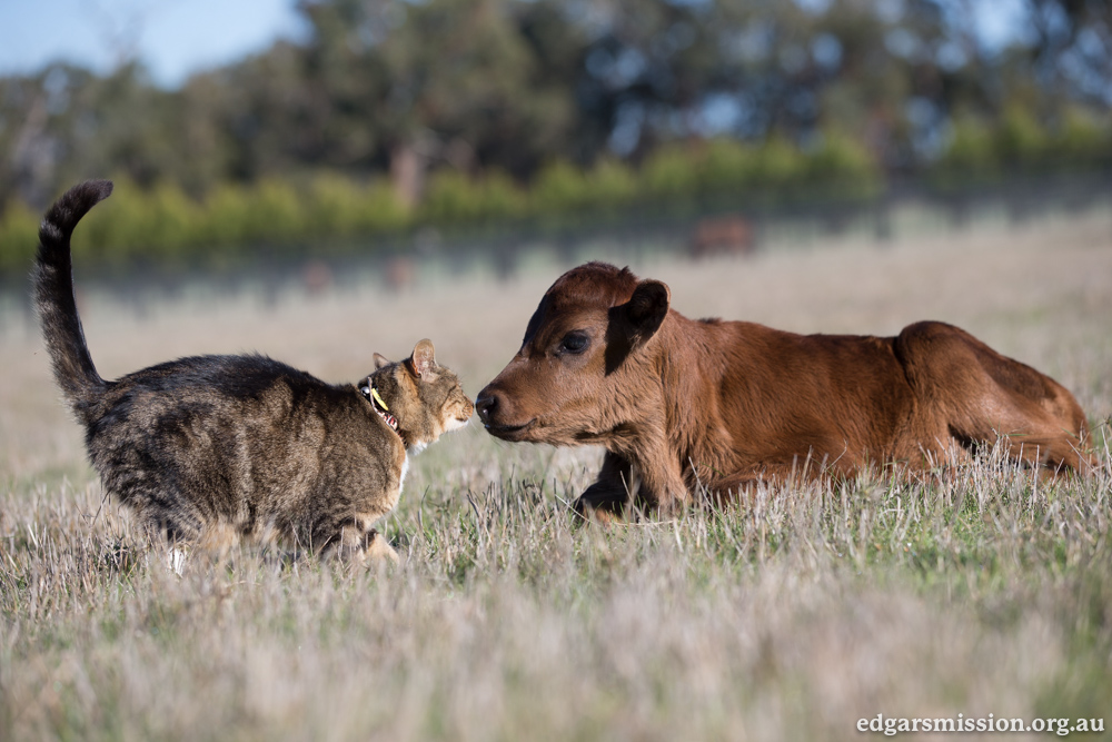 Jasmine the Adorable Rescued Calf Advocates For Her Species