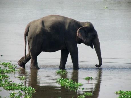 Wild_Asian_Elephant