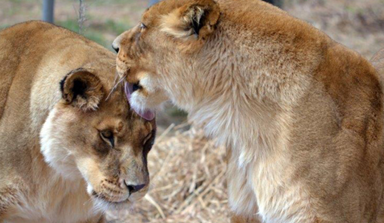 Rescued From a Game Farm, Asha the Lioness Finds Peace at Her Sanctuary Home