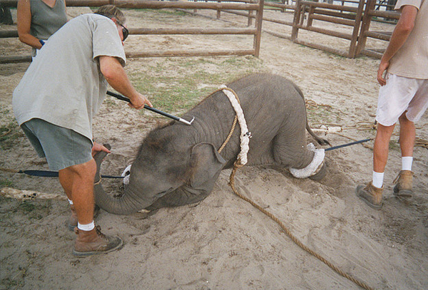 "5 cruel things done to wild animals that allow them to be ""domesticated"""