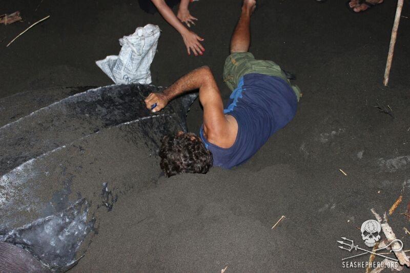 Sea Shepherd Volunteers Save Nesting Sea Turtle and Eggs from Poachers in Costa Rica