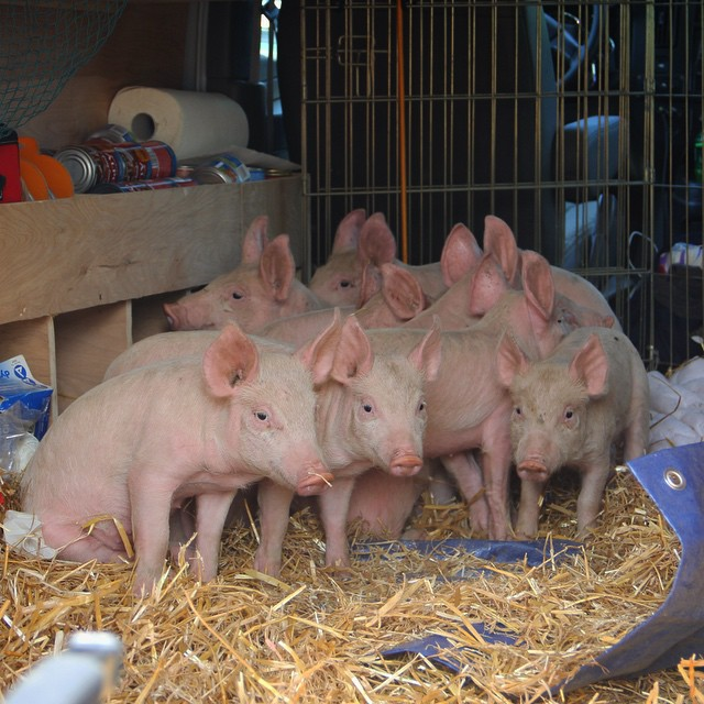 11 Piglets Saved From a Backyard Slaughter Operation Get a Second Chance at Life!