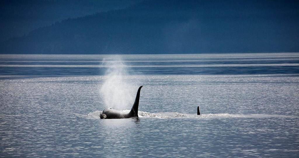 X things captive orcas never experience