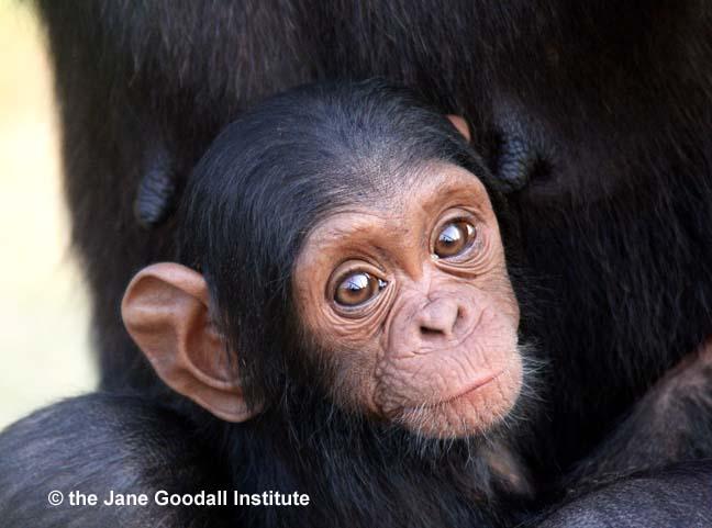 Infant Maria at the JGI Tchimpounga Chimpanzee Rehabilitation Center in the Republic of the Congo.