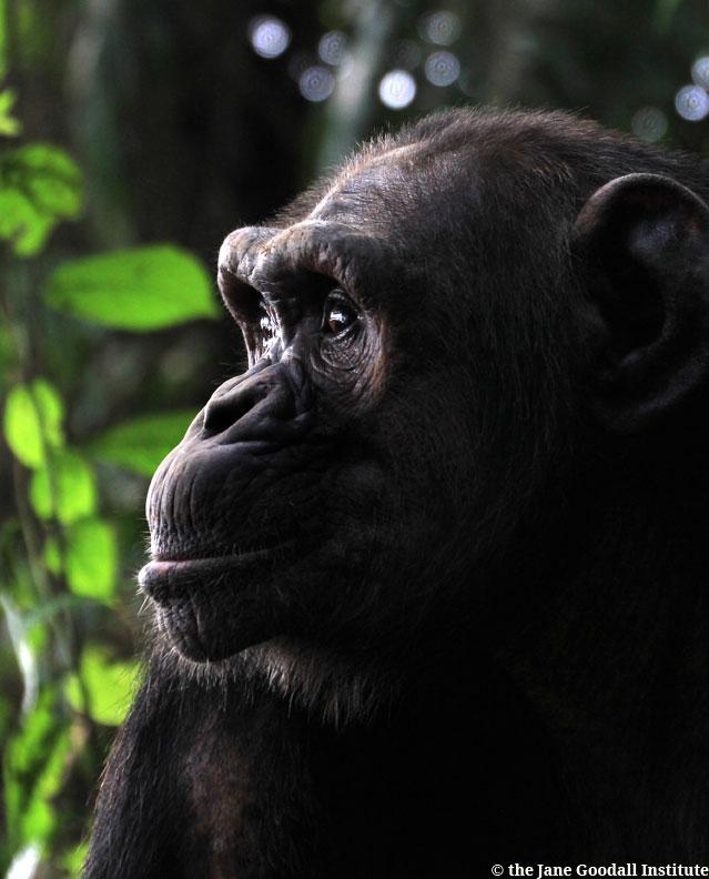 Chimp-Ullengue-at-Tchibebe-island--(3)_WMLR