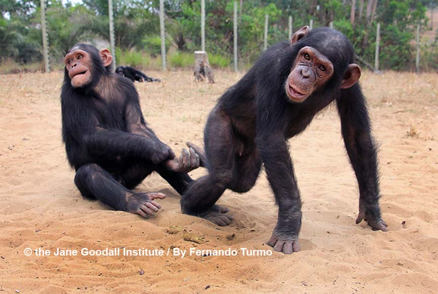 Mbebo plays with Alex in Group 4 enclosure LR WM
