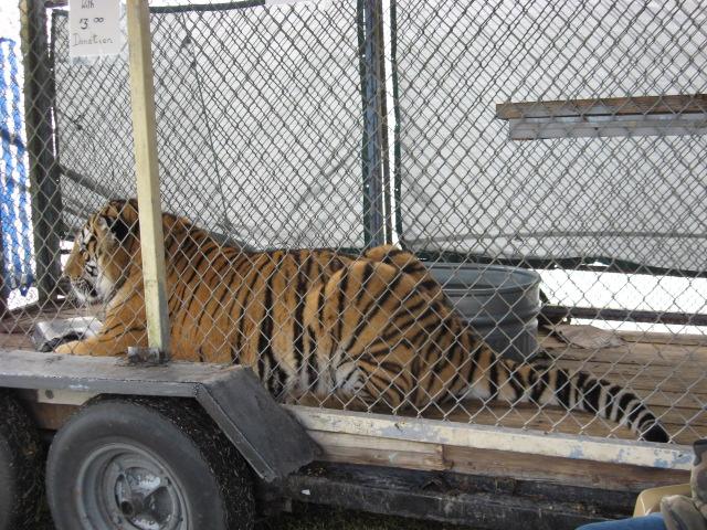 Samson-Tiger