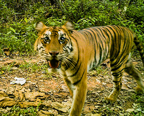 Only 400 Sumatran Tigers Are Left in the Wild. Here's How We're Working to Ensure a Future for This Species