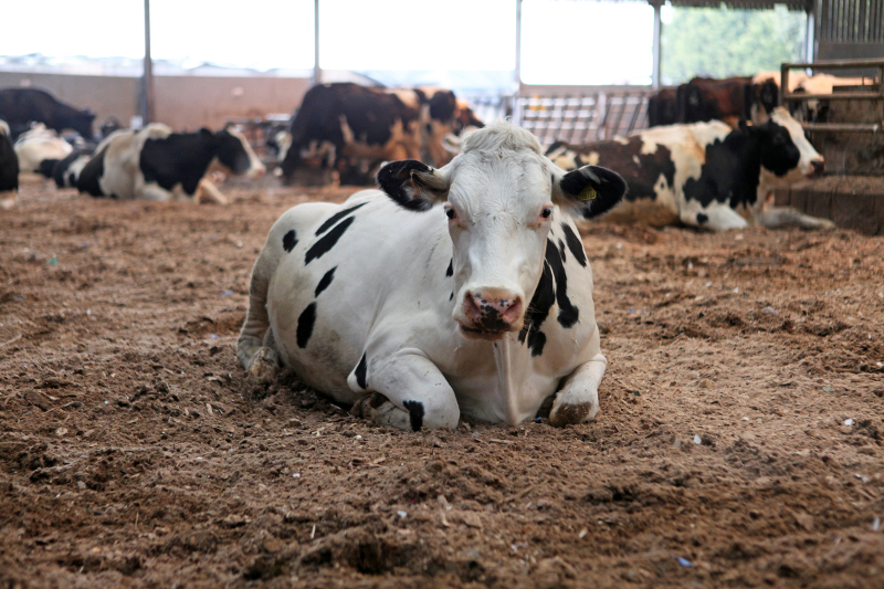 Why We're Petting Cows for the Sake of Science