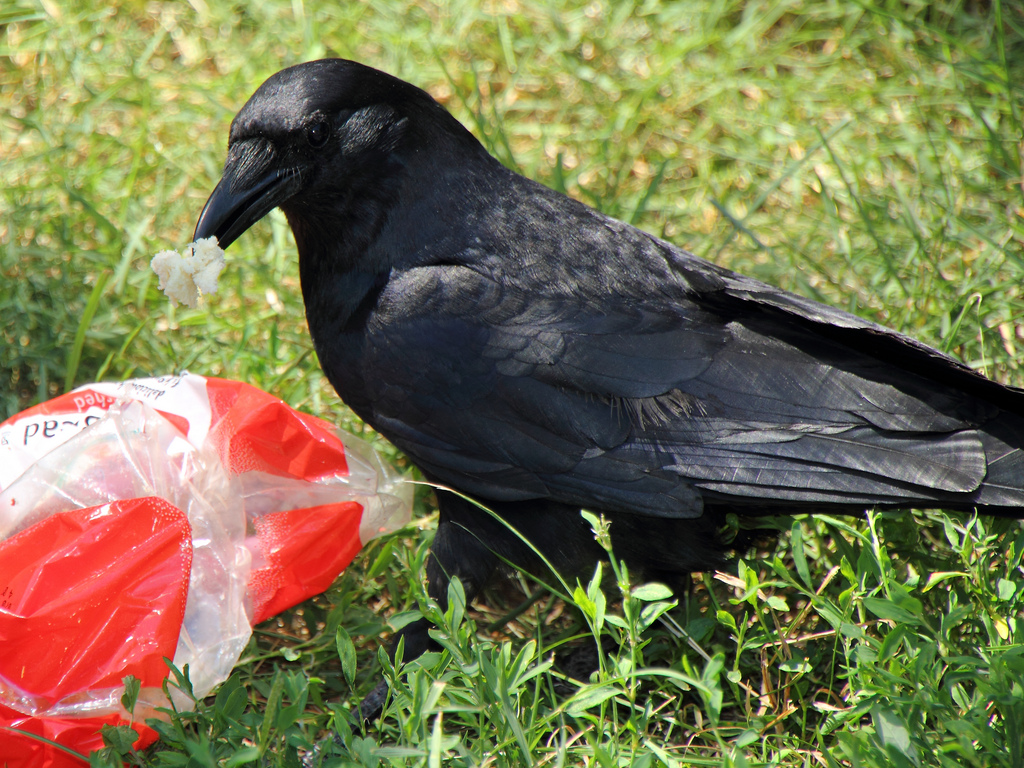 crow eating plastic