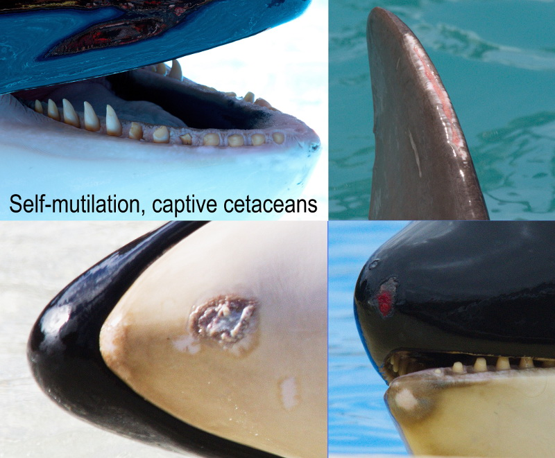 Self-Mutilation by a Young Whale at Vancouver Aquarium