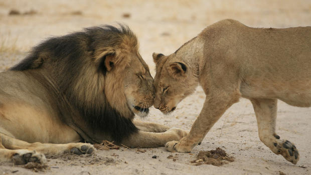 How Cecil the Lion Changed the World