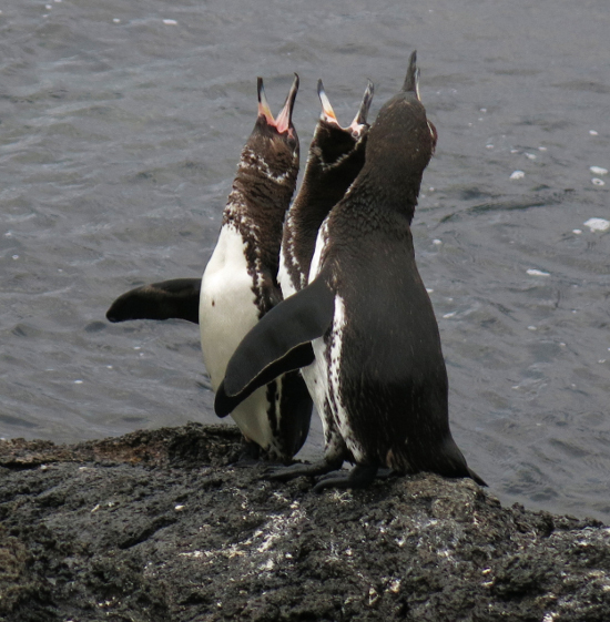 Helping to Protect the Only Population of Warm Weather Penguins on the Planet