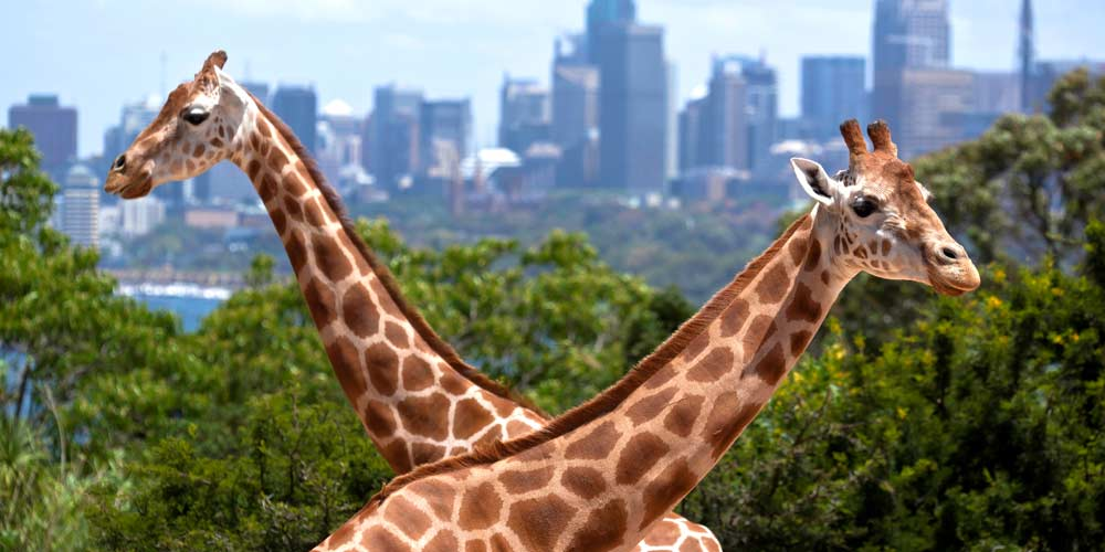 1000-giraffes-zoo
