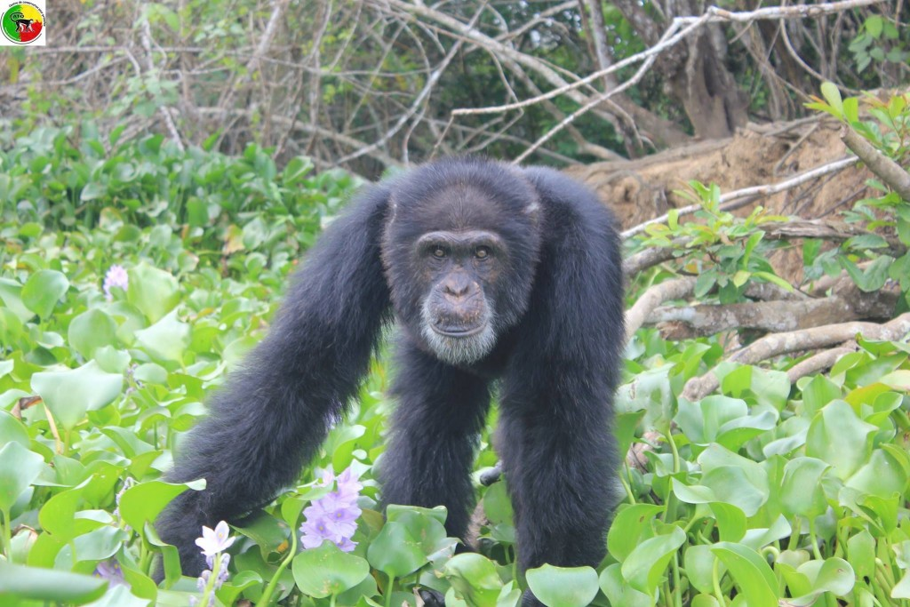 Second Group of Chimps Abandoned by NY Blood Center discovered