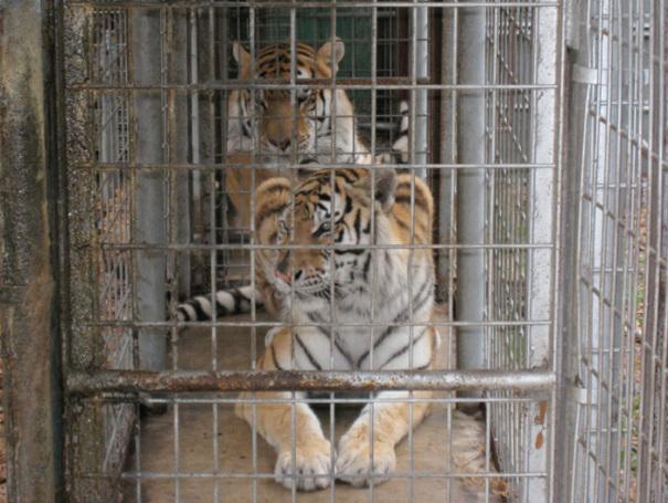 "Tiger cub ""Obie"" -  2015 mascot for the Massillon High School football team."