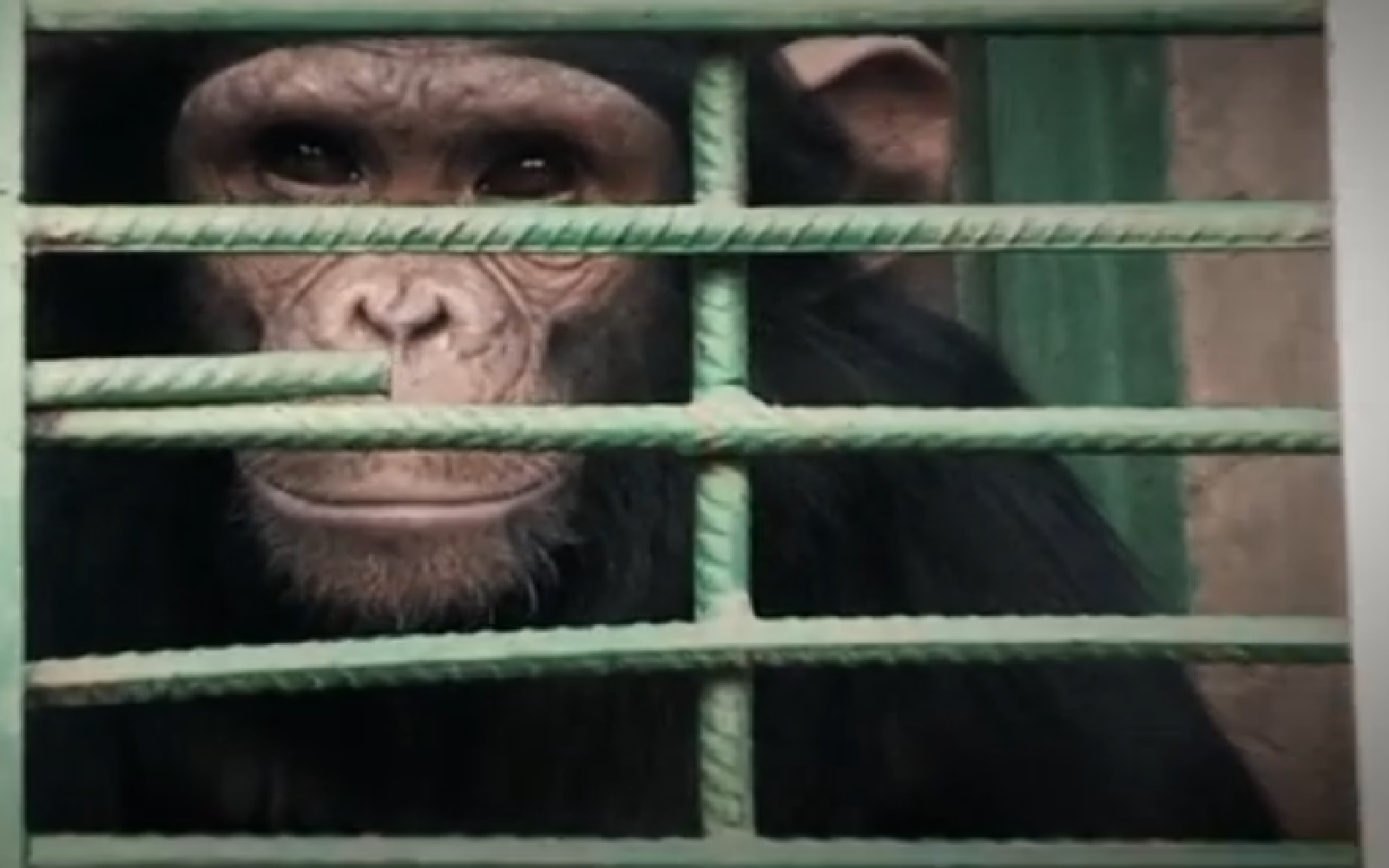 Amazing Sanctuary Provides Hope for the Chimpanzee Victims of the Exotic Pet Trade (VIDEO)