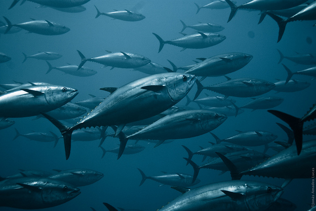 Yellowfins and Shark Finning: How The Tuna Industry Is Taking a Bite Out of Shark Numbers