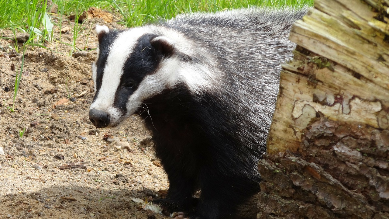Badgers are supposedly protected by the Protection of Badgers Act 1992: image source Beeki / Pixabay
