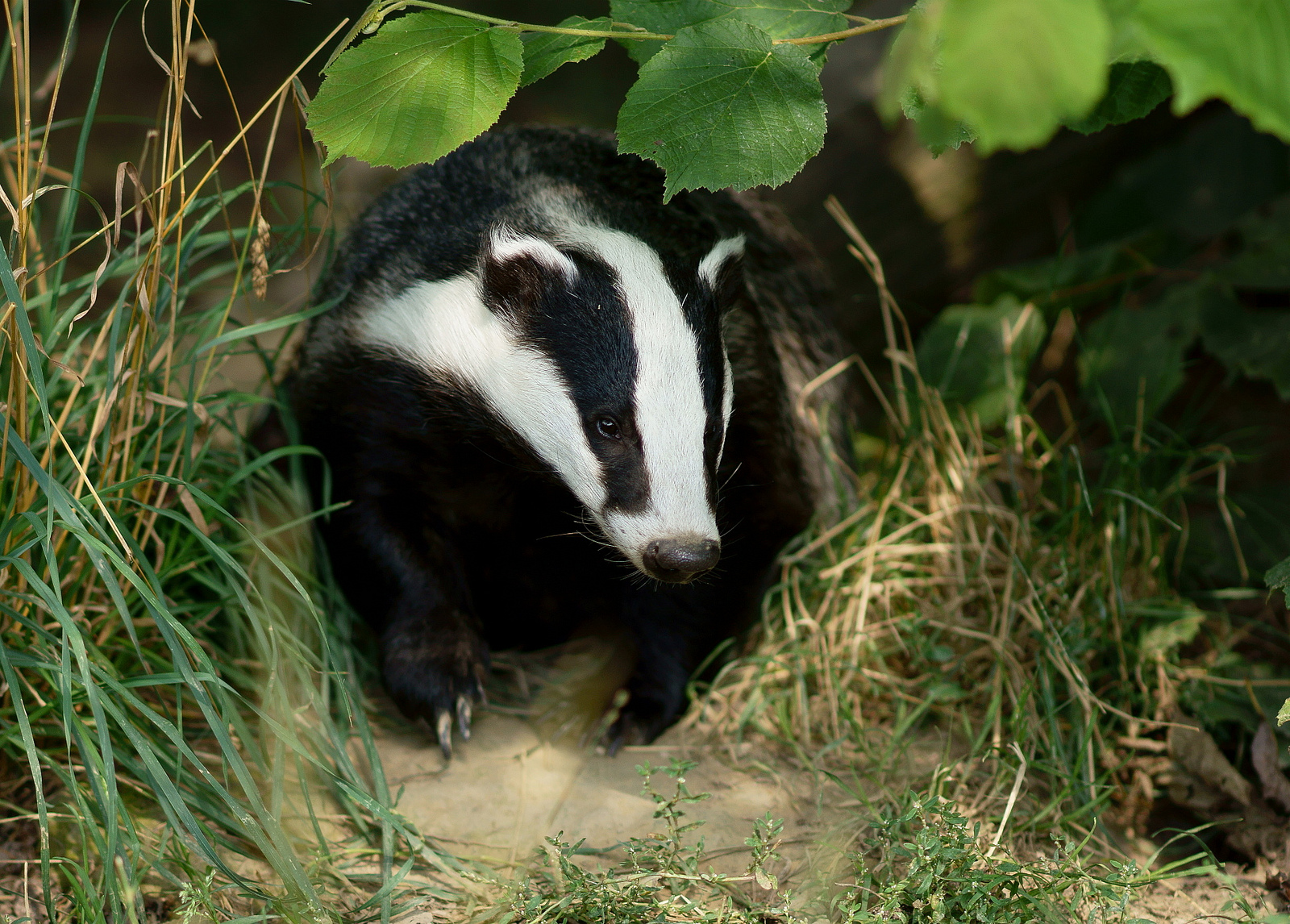 Six out of seven badgers could be 'collateral damage': image source Peter Trimmings / Flickr