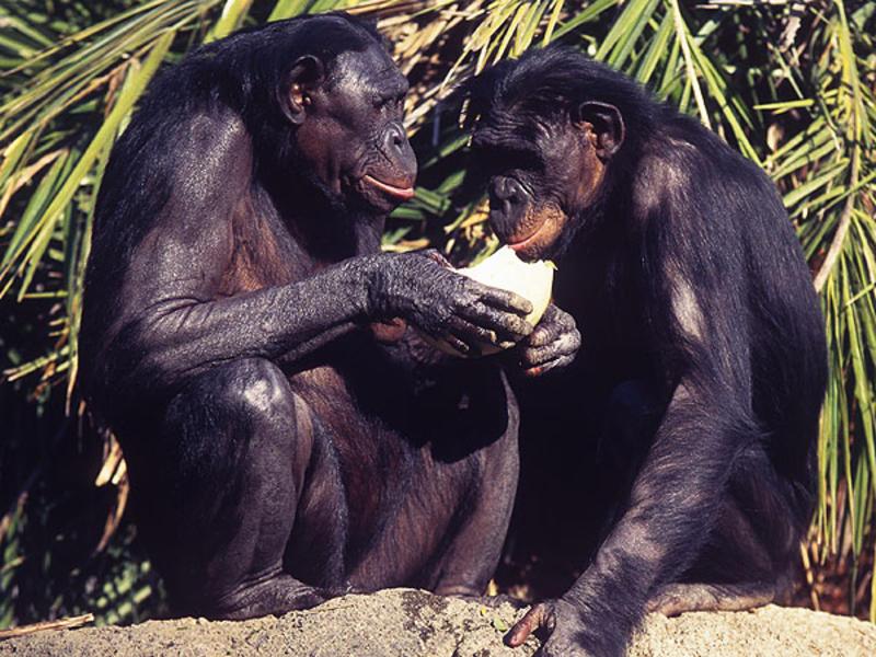 bonobo-600