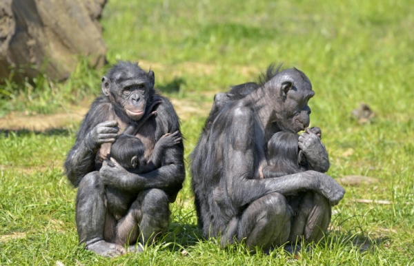 young-bonobos-with-adults
