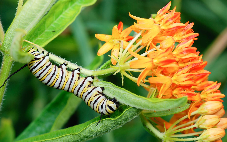 Monarch caterpillar: Wikimedia