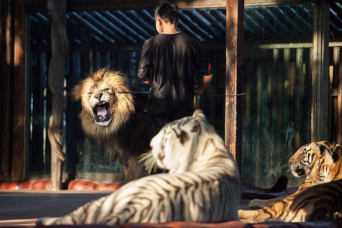 Circus lions