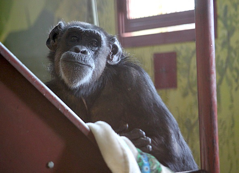Rescued Chimps Enjoy Their Very First Snow Day! (PHOTOS)