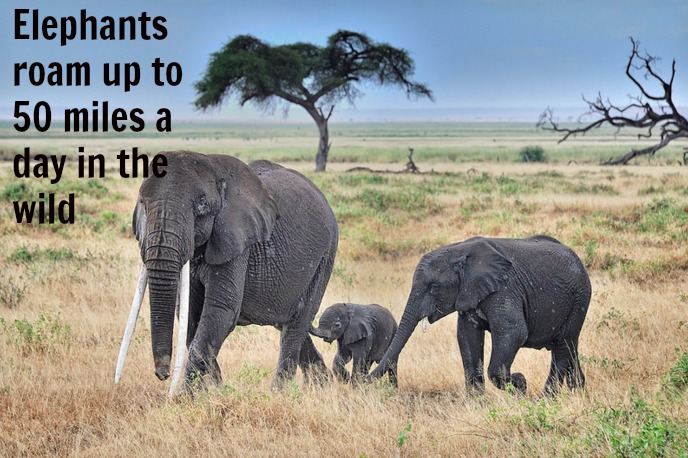 Why Life in a Zoo is no Life for an Elephant