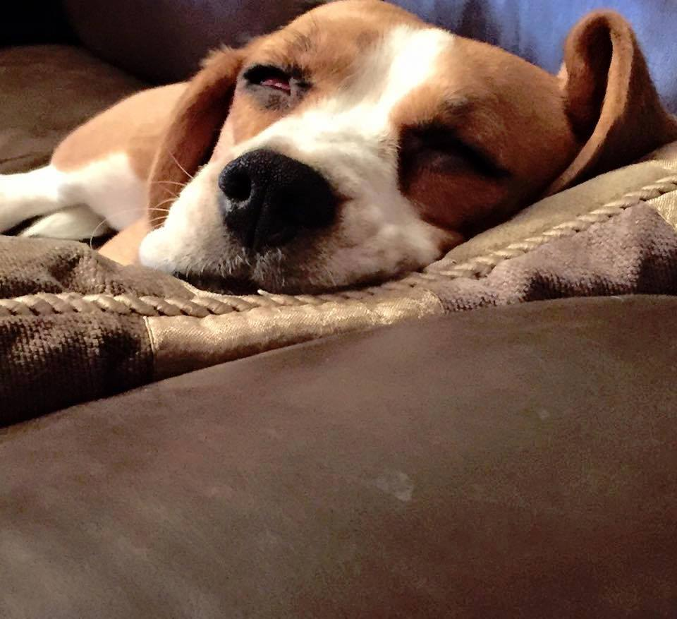 BFP Beagle