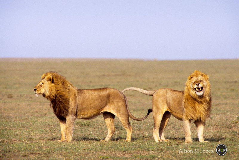 Here is Proof That Lions Belong in the Wild – Would a Captive Lion Ever Smile Like This? (PHOTO)