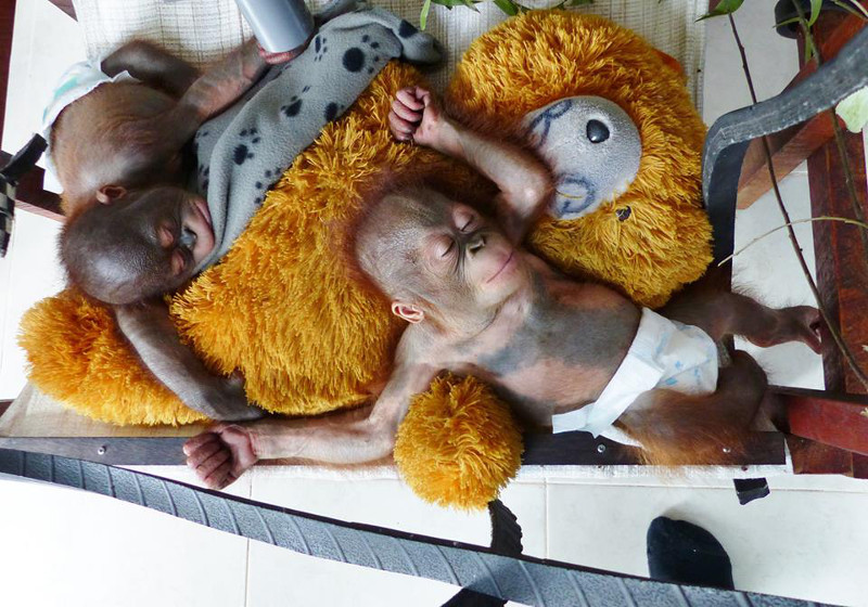 This Image of Two Sleeping Orangutan Babies Has the Saddest Back Story You Will Ever Hear
