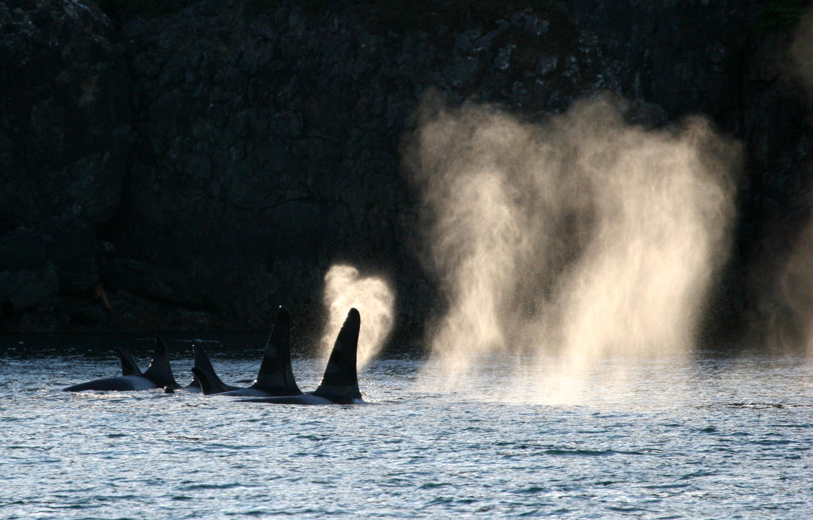 Ocean Pollution and Orcas