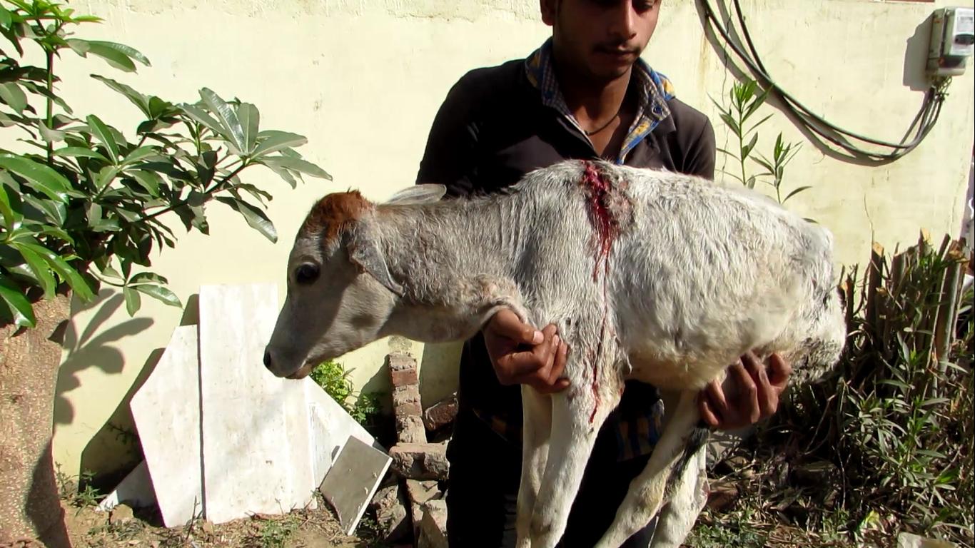 calf rescue