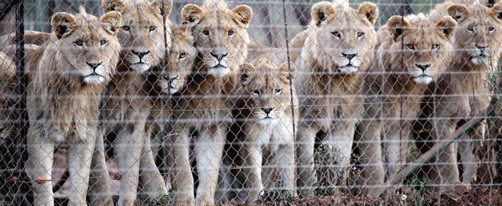 lionscage-1021x420