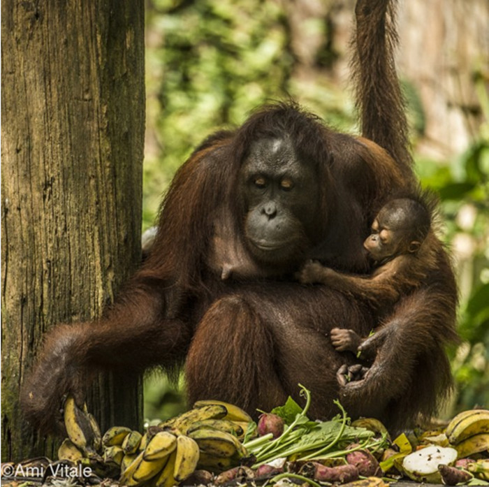 Does This Picture Represent a New Order of Learning for Orangutans?