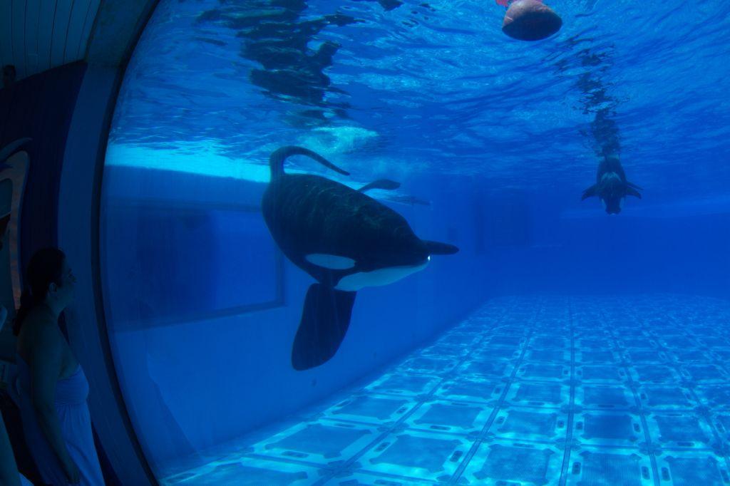 20150706-USA-INV-D1-353-TILIKUM (c) 2015 Orca Research Trust