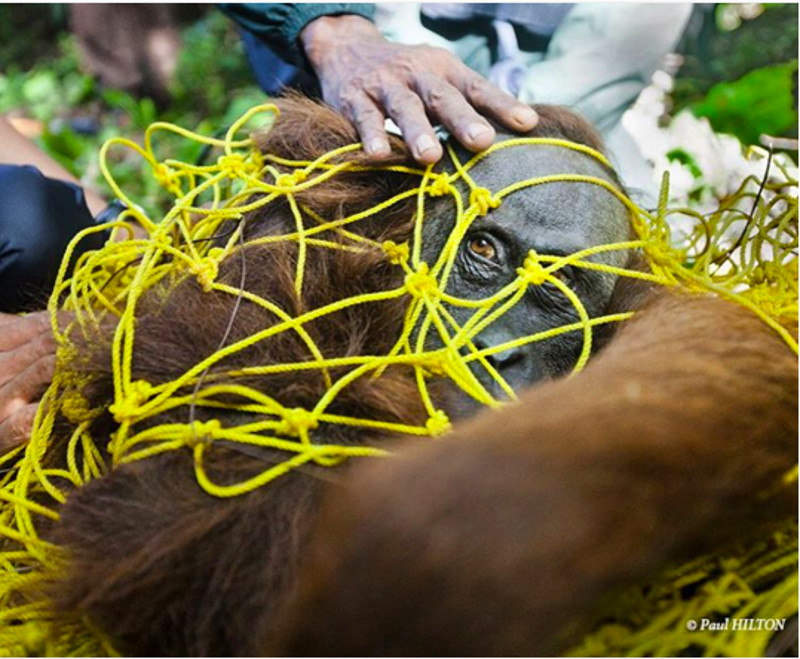 One Look From This Orangutan Inspired a Photographer to Fight for Their Survival